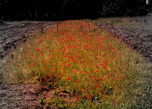 poppy field forever