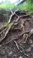 Tree Root Stock 1