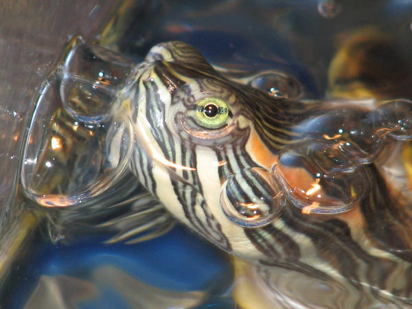 Red Eared Slider 2 by Polly-Stock
