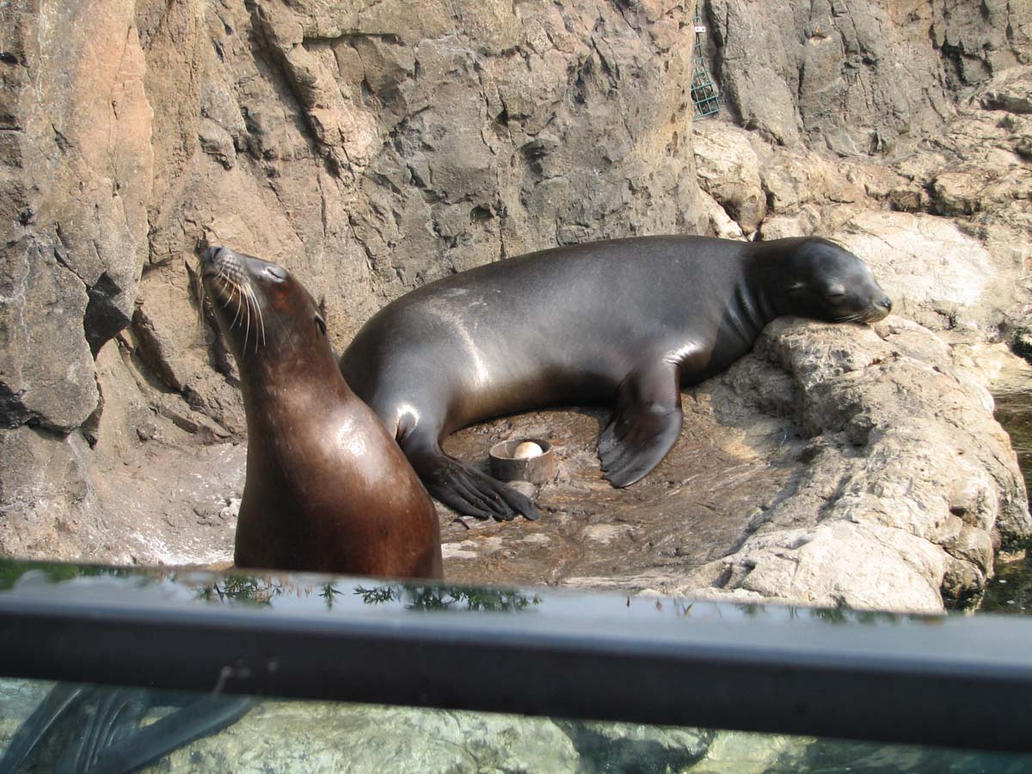 Sea Lions 2 by Polly-Stock