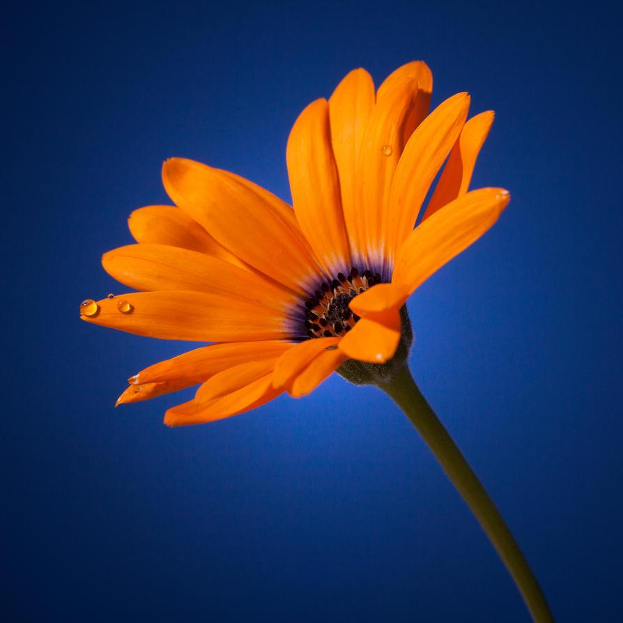 Blue And Orange Daisy By TeresaHowes On DeviantArt