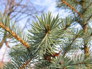spruce's macro