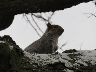 Cold Squirrel by corsacphoto