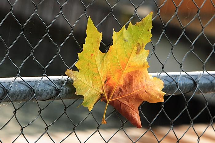 IMAGE: http://fc01.deviantart.com/fs12/f/2006/332/d/7/Fall_Leaf_by_Hamrani.jpg
