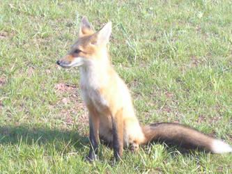 Fox 1 by Riverd-Stock