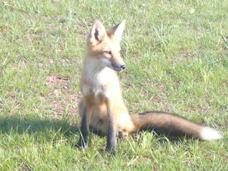 Fox 2 by Riverd-Stock