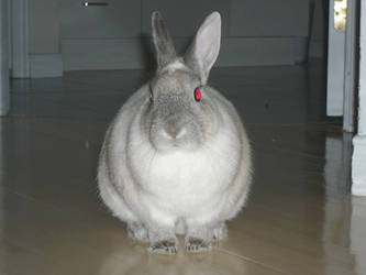 Siamese Rabbit 1 by Riverd-Stock