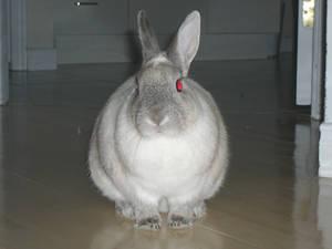 Siamese Rabbit 1