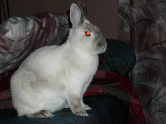 Siamese Rabbit 2 by Riverd-Stock