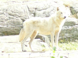 White Wolf 2 by Riverd-Stock
