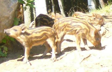 Baby Boar 1