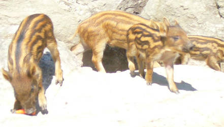 Baby Boar 2