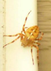 Golden Spider 1 by Riverd-Stock