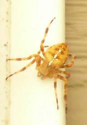 Golden Spider 2 by Riverd-Stock
