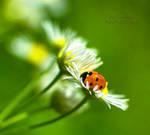 Ladybird by ironman80