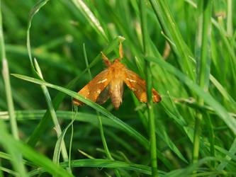 Orange Moth by madsvg