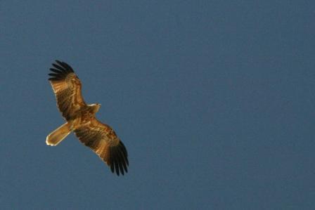 Hawk on Moreton