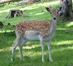 Deer stock 2
