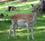 Deer stock 3