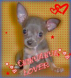 Chihuahua Lover by myssyta