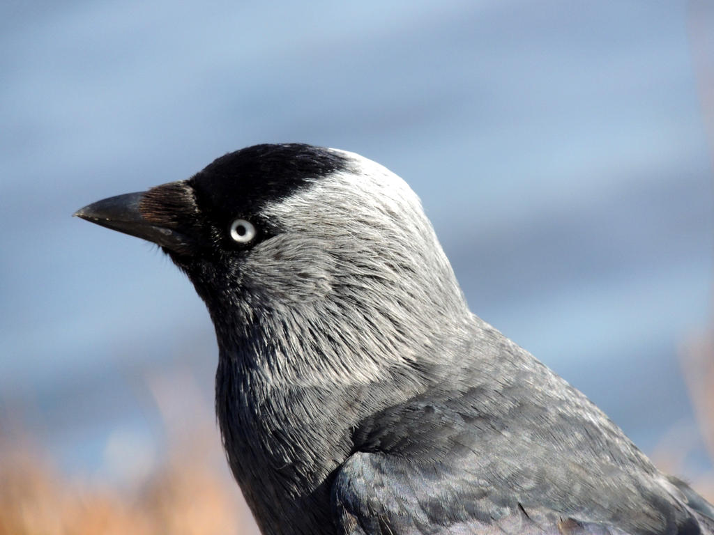 Jackdaw by 3LadyInRed3