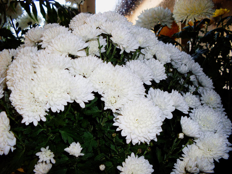 white chrysanthemum bouquet by zsoltoroszlany on deviantart, Beautiful flower