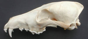 Coyote Skull Side View