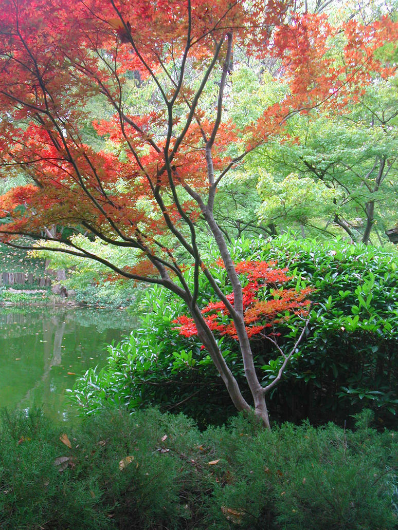 Japanese Maple Tree By Lockstock On Deviantart