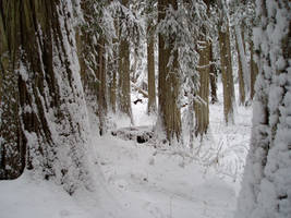 Snowy Cedar Trees Stock by leeorr-stock