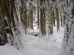 Snowy Cedar Trees Stock