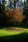 Maple Tree Stock