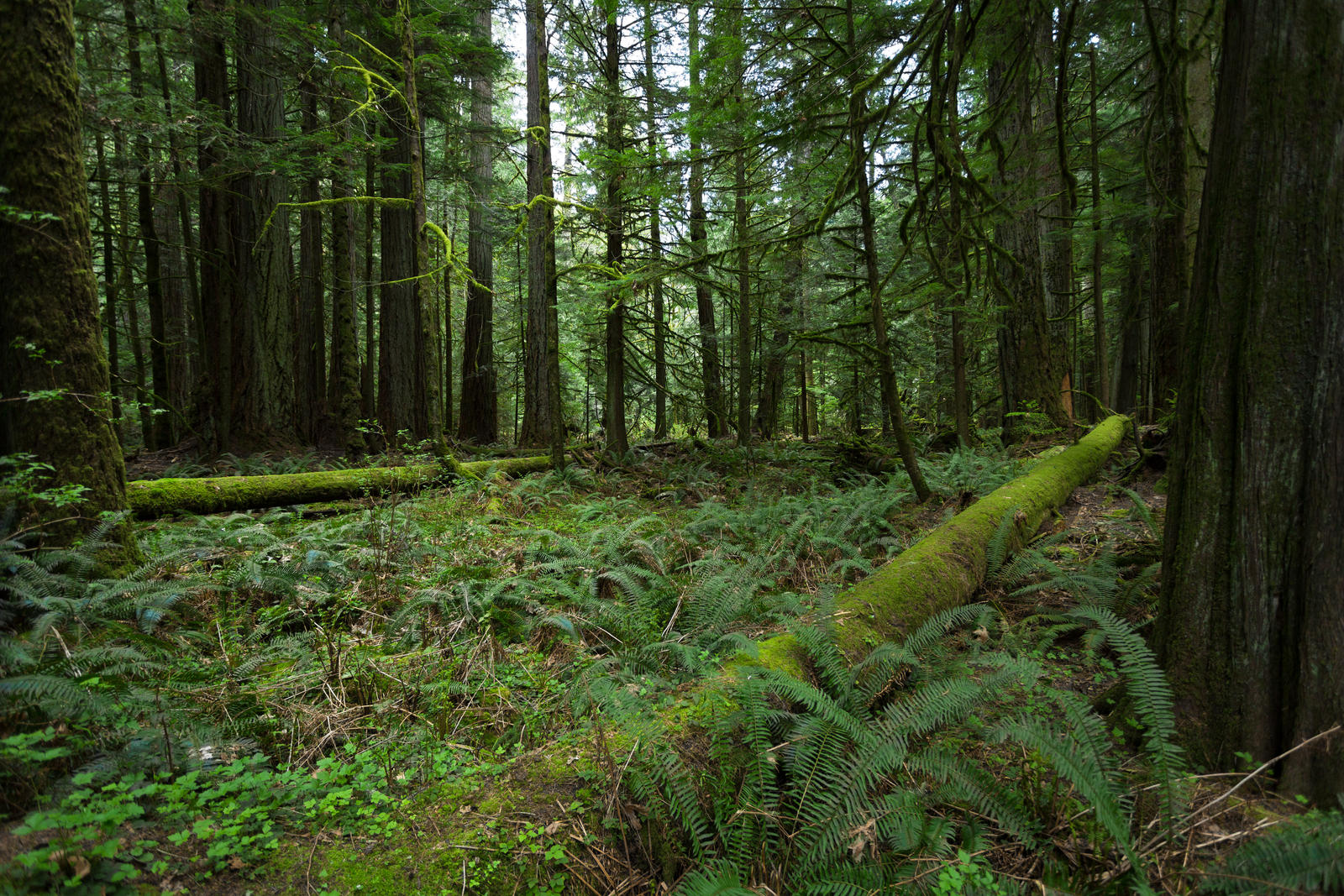 Oldgrowth Canadian Rainforest Stock By Leeorr