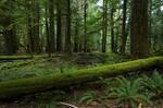 Oldgrowth Canadian Rainforest Stock 2