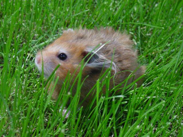 hamster by MelankoliDreamer