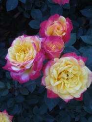 Tiny Yellow/Pink Roses by WysteriaCampion913