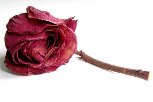 the last rose