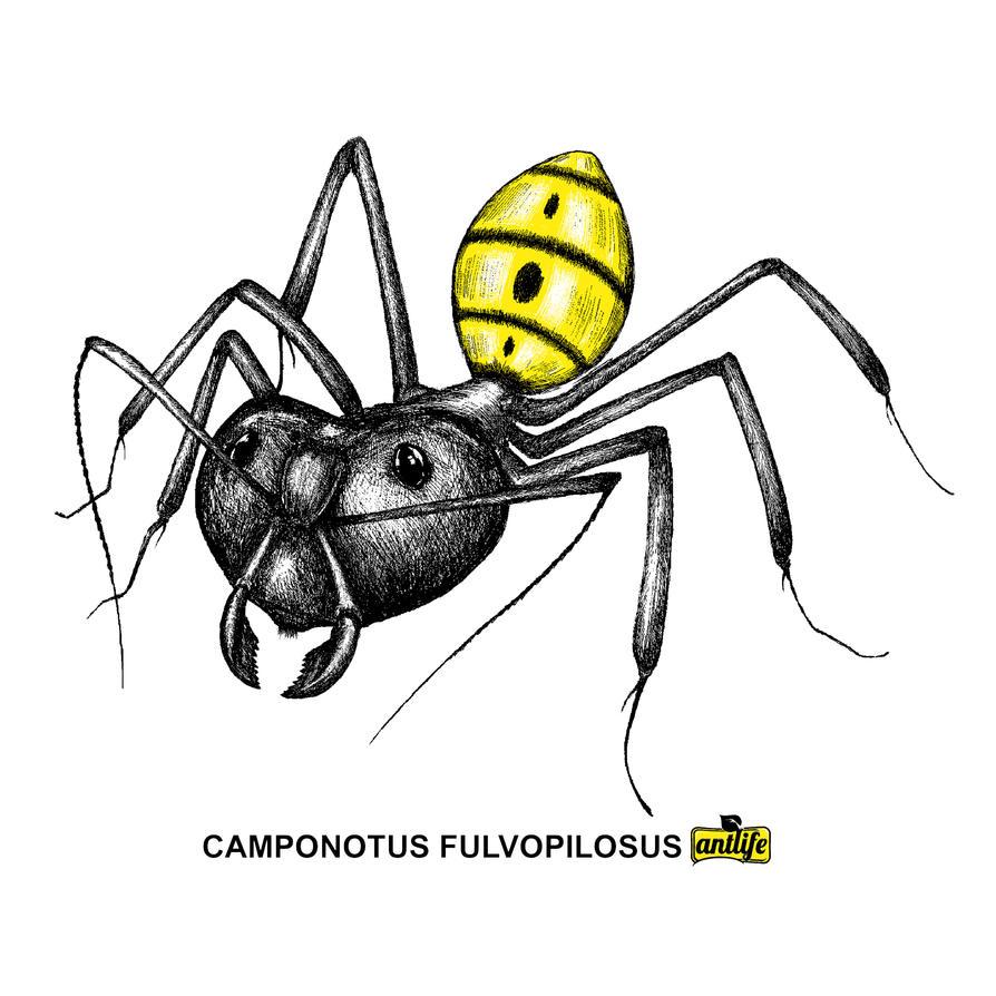 Camponotus fulvopilosus by Antlife-Antworks