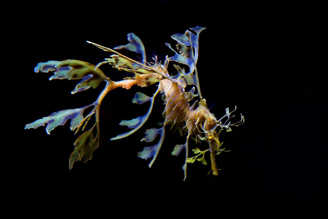 Leafy Sea Dragon by Gregro on DeviantArt