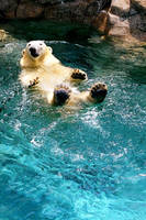Polar Bear by augustinesoong
