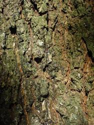 Bark of an old tree II