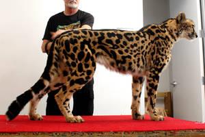 King Cheetah View