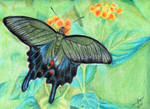 Japanese Swallowtail Butterfly