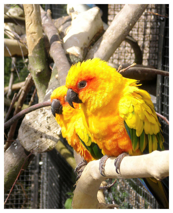 Yellow Birds by Swift-Photos