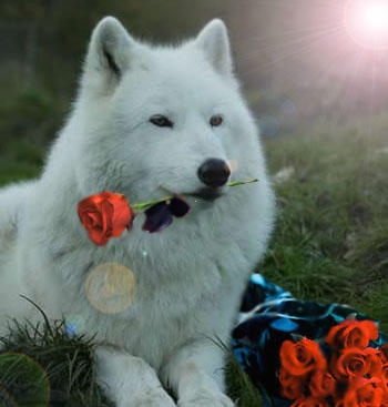 The Wolf With the Red Roses by HeartRaped on DeviantArt