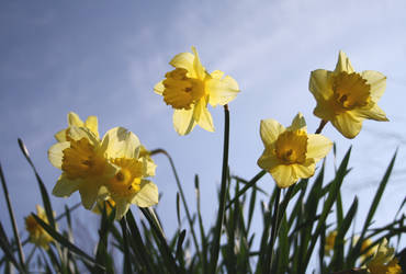 St. David's Daffodils by medicorefluff