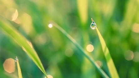Morning dew (Wallpaper)