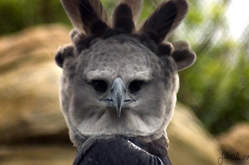 Harpy eagle by ringtaillemur on deviantart - Harpy eagle hd wallpaper ...