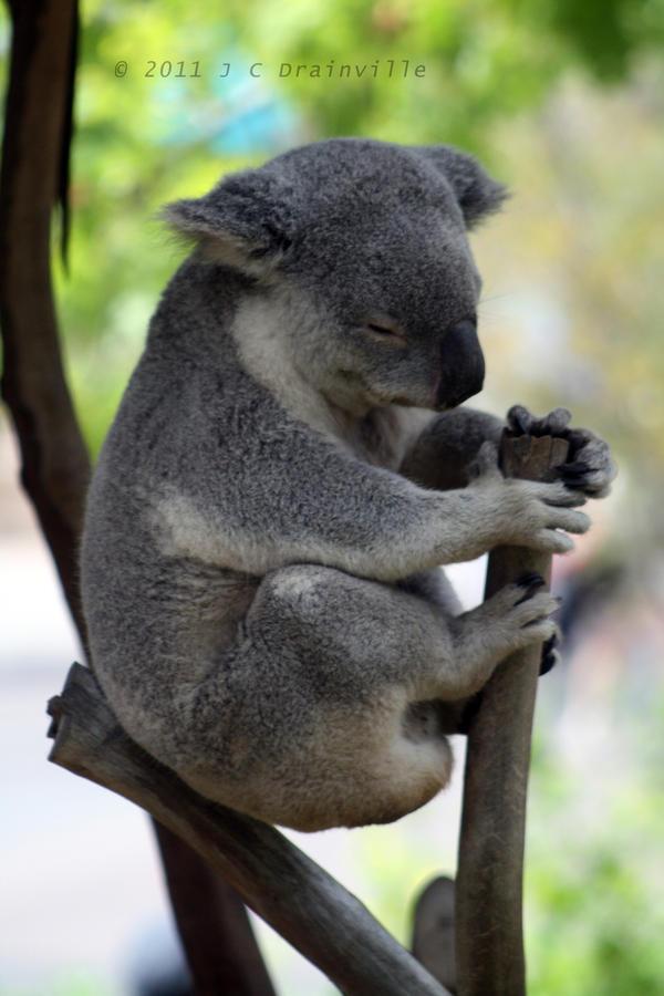 Koala by jdrainville