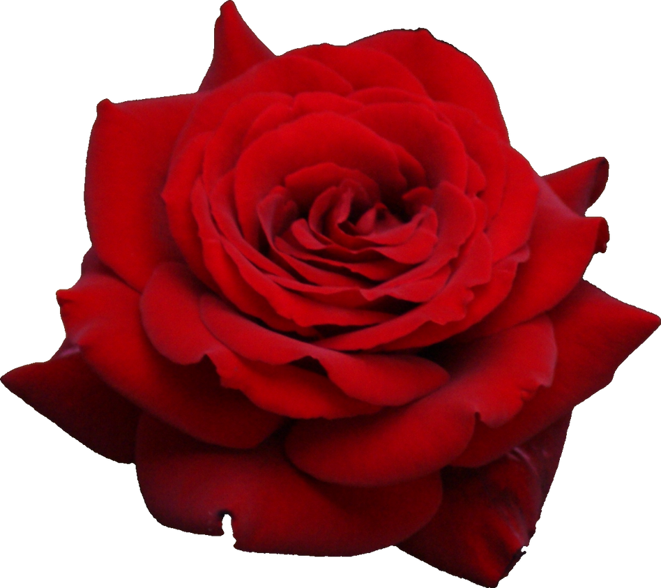 A beautiful rose png by vansiibgjackson on deviantart a beautiful rose png by vansiibgjackson izmirmasajfo