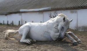 Lipizzaner Stallion - Stock 15 by Hikari-kirin